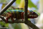 Pardalis chameleon [madagascar_masoala_0007]