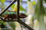 Pardalis chameleon [madagascar_masoala_0008]
