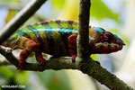 Pardalis chameleon [madagascar_masoala_0009]