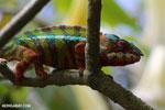 Pardalis chameleon [madagascar_masoala_0010]