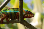Pardalis chameleon [madagascar_masoala_0014]