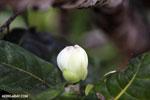 White flower [madagascar_masoala_0053]