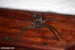 Spider [madagascar_masoala_0082]