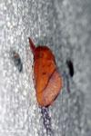 Orange moth [madagascar_masoala_0084]