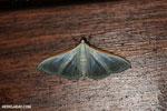 Moth [madagascar_masoala_0087]