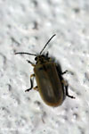 Beetle [madagascar_masoala_0088]