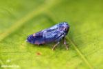 Blue planthopper [madagascar_masoala_0113]