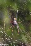 Orb spider [madagascar_masoala_0114]
