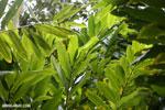 Ginger leaves