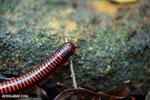 Red millipede [madagascar_masoala_0128]
