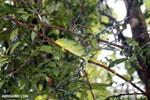 Parson's chameleon [madagascar_masoala_0147]