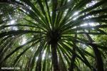 Pandanus palm [madagascar_masoala_0157]