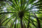 Pandanus palm [madagascar_masoala_0158]