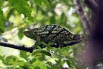 Parson's chameleon [madagascar_masoala_0160]