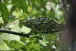 Parson's chameleon [madagascar_masoala_0162]
