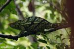 Parson's chameleon [madagascar_masoala_0164]