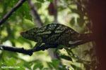 Parson's chameleon [madagascar_masoala_0165]