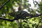 Parson's chameleon [madagascar_masoala_0166]