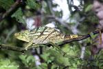 Parson's chameleon [madagascar_masoala_0167]