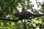 Parson's chameleon [madagascar_masoala_0170]