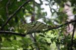 Parson's chameleon [madagascar_masoala_0171]