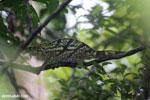 Parson's chameleon [madagascar_masoala_0173]