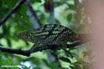 Parson's chameleon [madagascar_masoala_0174]