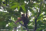 Male white-headed lemur (Eulemur albifrons)