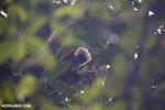 White-fronted lemur [madagascar_masoala_0186]
