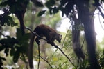 White-fronted brown lemur [madagascar_masoala_0188]