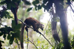 White-fronted lemur [madagascar_masoala_0189]