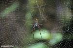 Orb spider [madagascar_masoala_0190]