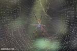 Orb spider [madagascar_masoala_0191]