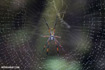 Orb spider [madagascar_masoala_0192]