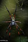 Orb spider [madagascar_masoala_0193]