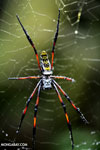 Orb spider [madagascar_masoala_0194]