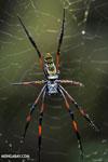 Orb spider [madagascar_masoala_0195]