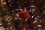 Plethodontohyla notosticta frog [madagascar_masoala_0204]