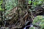 Masoala rainforest [madagascar_masoala_0225]