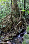 Masoala rainforest [madagascar_masoala_0226]