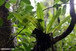 Birdnest fern [madagascar_masoala_0227]