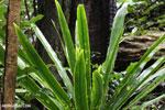 Plant [madagascar_masoala_0235]