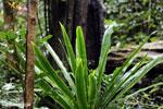 Plant [madagascar_masoala_0236]