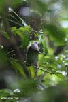 Bird [madagascar_masoala_0244]