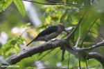 Bird [madagascar_masoala_0245]