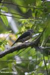 Bird [madagascar_masoala_0246]