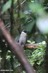 Bird [madagascar_masoala_0247]