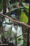 Male Madagascar paradise flycatcher [madagascar_masoala_0250]