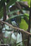 Male Madagascar paradise flycatcher [madagascar_masoala_0251]