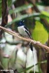 Male Madagascar paradise flycatcher [madagascar_masoala_0252]